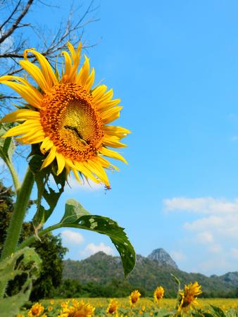 beautyful: Close up Sunflower, Beautyful Flower