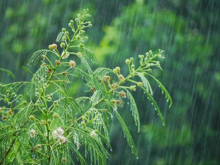 jardines con flores: Leucaena blanco, la hoja verde y la rama Foto de archivo