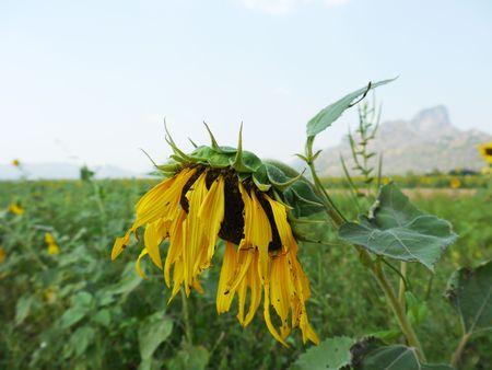 drop in: Sunflower Drop In Formal Garden Stock Photo