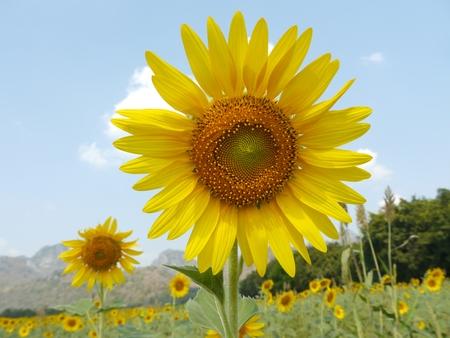 green world: Close up Sunflower In Field