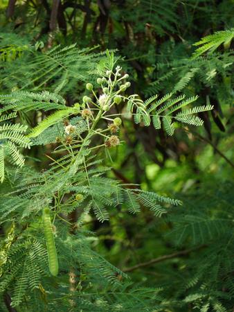 brich: White Leucaena , Green Leaf And Branch
