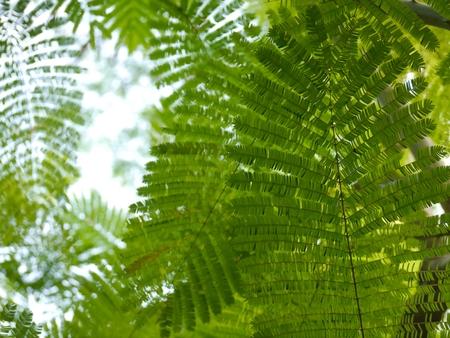 cha om: Selective Focus At Cha-om Tree