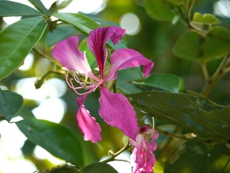 purpurea: Closeup Pink Bauhinia Purpurea Linn