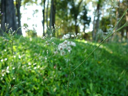 imperata: Blady Grass Flower, Imperata Cylindrica