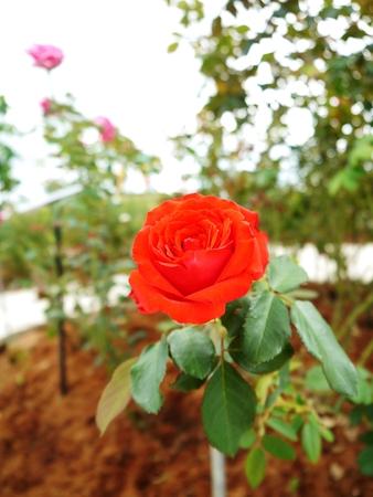 Red Rose Field, Formal Garden Stock Photo
