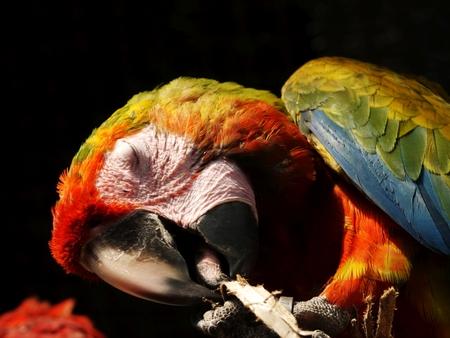 green winged macaw: Green Winged Macaw, Pet Bird Stock Photo