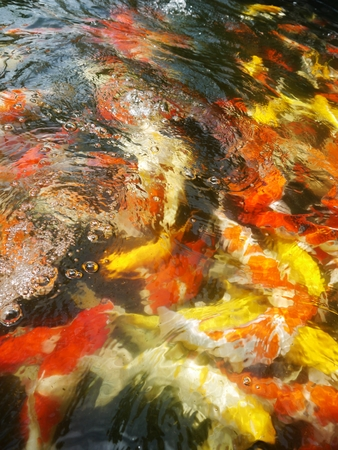 coi: koi pond full of koi many colors.