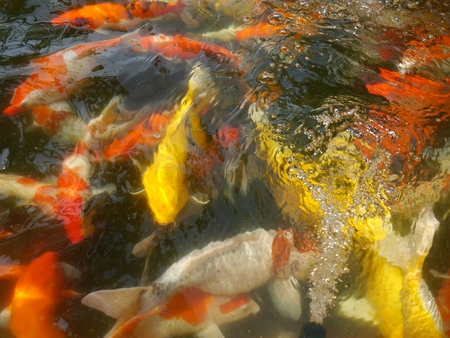Koi pond full of koi many colors