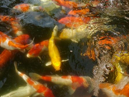 coi: Koi pond full Koi many colors