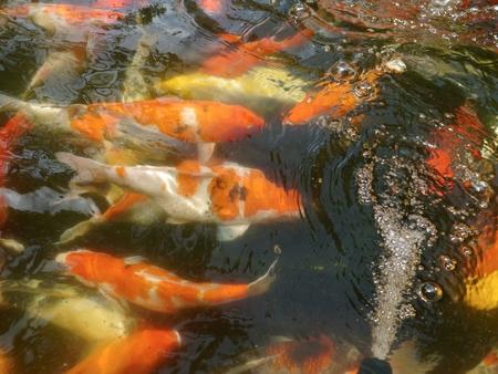 coi: Koi pond full of koi many colors