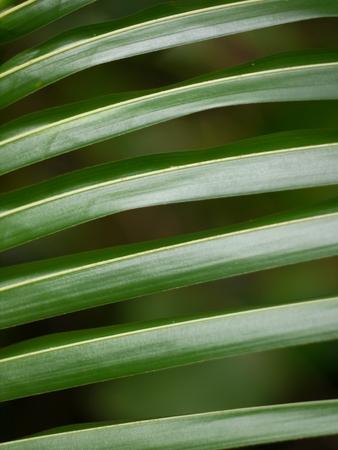lineas horizontales: Closeup coconut leaves, Horizontal lines Foto de archivo