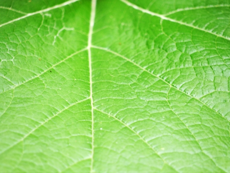 zoom in: Full frame green leaf, Nature background