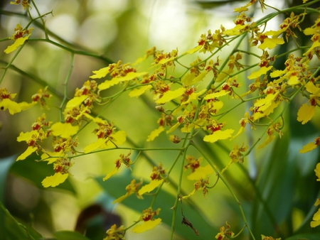 living organism: Selective Focus Thai Yellow Orchid Stock Photo