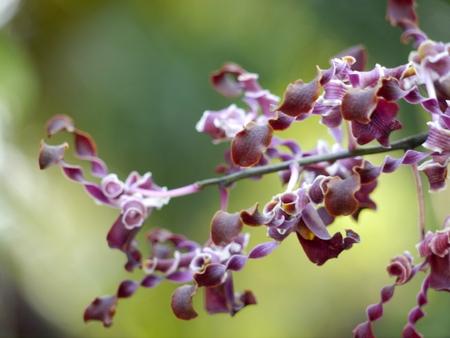 Selective Focus Thai Purple Orchid