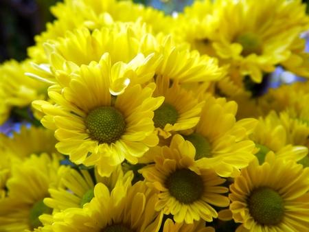 shasta daisy: Yellow Marguerite Background, Formal Garden Stock Photo