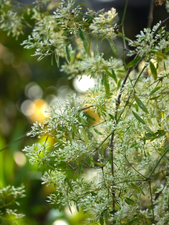 acacia tree: Selective Focus White Acacia Tree