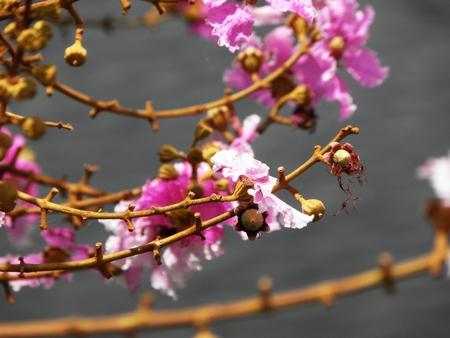 true myrtle: Pink Crape Flower In Formal Garden Stock Photo