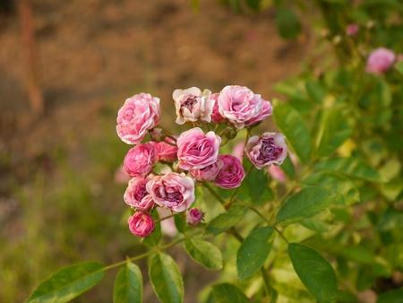 Pink Rose Flower In Formal Garden Stock Photo