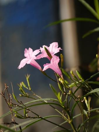minnie mouse: Pink Ruellia Flower On Sunshine Stock Photo