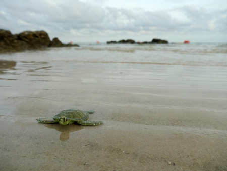 tether: Sea turtles are walking ashore Stock Photo