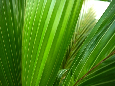 sylvan: Coconut fronds of the palm trees in the rainy season. Stock Photo