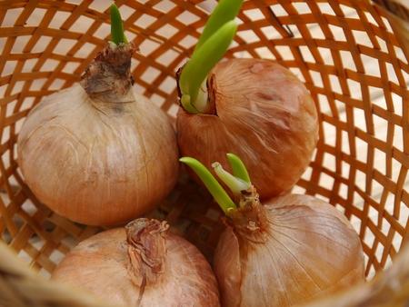 an onions: las cebollas en la cesta de mimbre