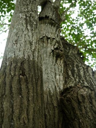 The crease bark of tree