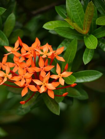ixora: Red Ixora in the garden