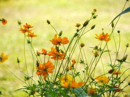 Yellow Cosmos in the garden, Blur background