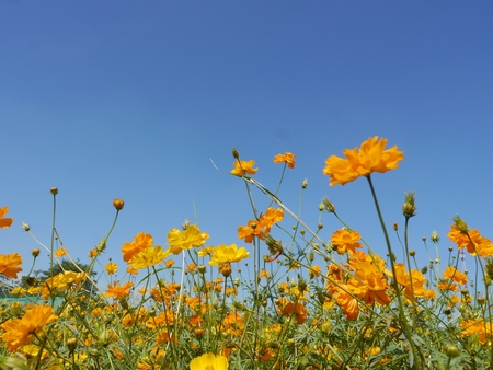 Yellow Cosmos in The Garden