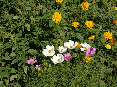 Cosmos flowers are in the garden