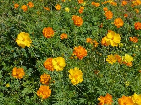 Yellow Cosmos in the garden Stock Photo
