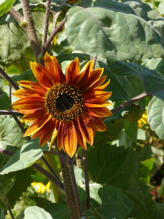 bushy plant: Red Sunflower Blooming in the Garden