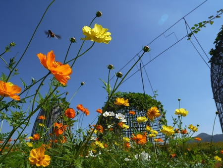 tree marigold: Cosmos Flower are in the garden