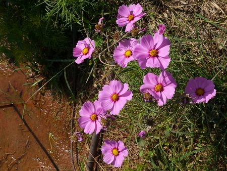 Cosmos Flower are in the garden