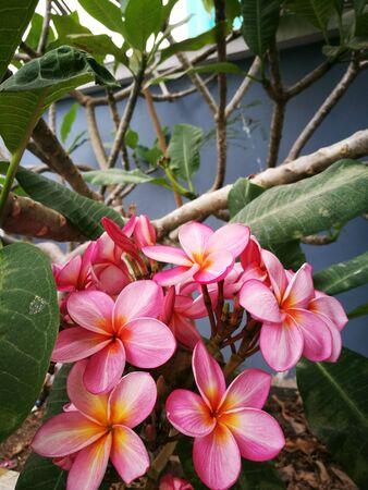 Pink Frangipani Flower in garden Stock Photo