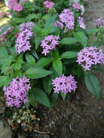 Purple Ixora in the Garden Stock Photo