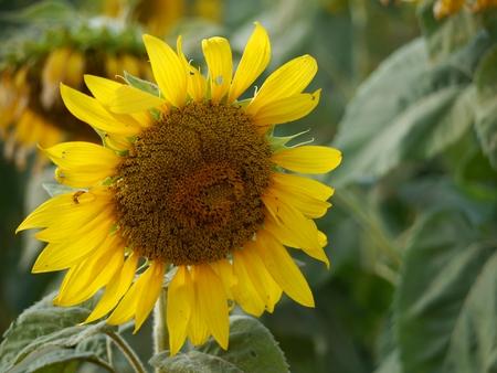 Sunflower bloom in the garden Stock Photo