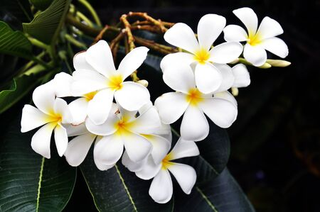 white blooms with yellow centers plumeria flowering in summer