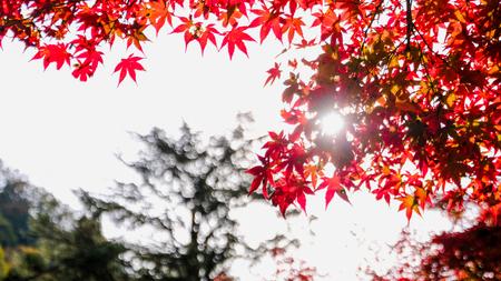 Red maple leaf on bokeh leaf background - Image 스톡 콘텐츠