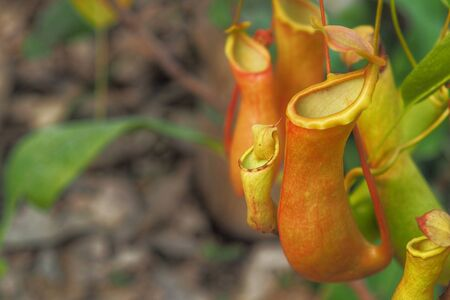 Tropical pitcher plants or Nepenthes with copy space.