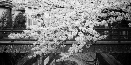 Someiyoshino Somei Yoshino Cherry Blossom Black And White Photography From Kinosaki Onsen In