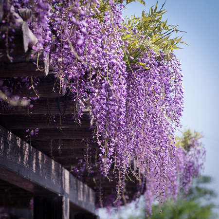 Wisteria at Toba Water Environment Conservation Center in Kyoto, Japan.
