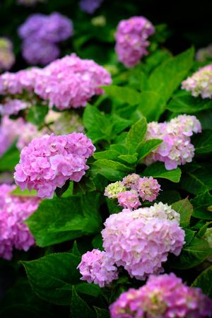 Hydrangea flowers at Liming Trail Garden of Taishan District, New Taipei, Taiwan. Stock Photo