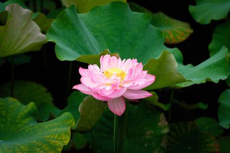 Lotus Flower at Taipei Botanical Garden in Taipei, Taiwan.