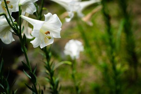 Lily Flower at Taipei Botanical Garden in Taipei, Taiwan.