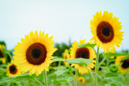 Sunflower field at Guanyin District, Taoyuan, Taiwan during the summer season. Stock Photo
