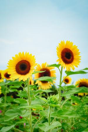 Sunflower field at Guanyin District, Taoyuan, Taiwan during the summer season. Foto de archivo