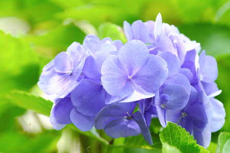 Blue Hydrangea flowers at Mingchi National Forest Recreation Area in Yilan, Taiwan.