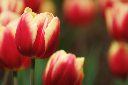 Tulip flowers macro photography with blur background in Floriculture Experiment Center of Taipei, Taiwan. Stock Photo